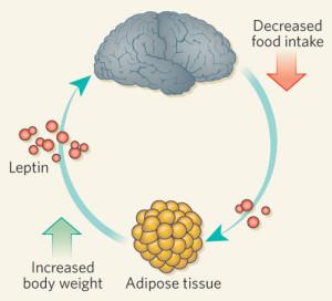 leptin-chart
