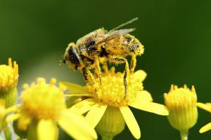 7144_bee_pollen_untuk_imunitas_tubuh